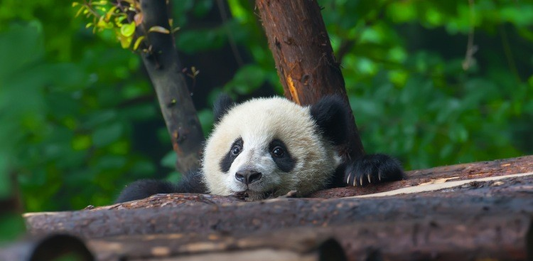 Career Guidance - How to Get Paid to Play With Baby Pandas All Day Long