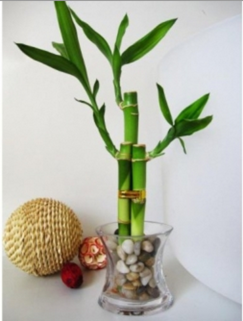 how to keep a bamboo plant alive
